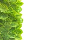 украшение тропических зеленых лист как граница рамки на белизне Стоковая Фотография RF