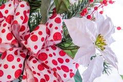Украшения рождества - белый Poinsettia с красным и белым смычком Стоковое Фото