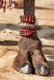 Украшенная нога верблюда Стоковая Фотография