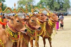Украшенные быки на гонке Madura Bull, Индонезии Стоковая Фотография RF