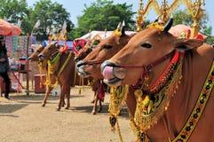 Украшенные быки на гонке Madura Bull, Индонезии Стоковые Изображения RF