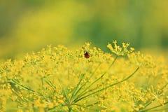 Укроп, день фенхеля солнечный Ladybug Стоковые Изображения RF