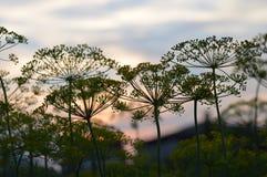 Укроп на заходе солнца Стоковое фото RF