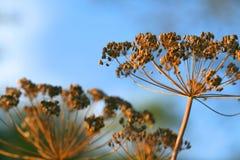 укроп цветет напольное Стоковая Фотография RF