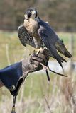 укротитель орла стоковое изображение