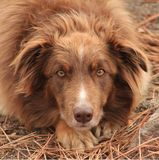 укрытие собаки циннамона Стоковое Фото