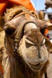укус дромадера Испании Африки timanfaya неба передний коричневый в VOL. Стоковое фото RF
