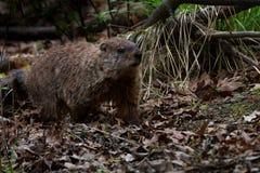 Уклон Groundhog густолиственный стоковое фото rf