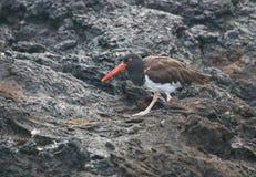 Улавливатель устрицы на островах Галапагос стоковое изображение