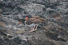 Улавливатель устрицы на островах Галапагос стоковые изображения