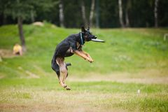 Улавливать sheepdog Frisbee стоковая фотография