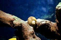Улитка аквариума стоковая фотография rf