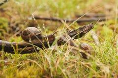 Улитка 2 виноградин сидя в траве стоковые фотографии rf