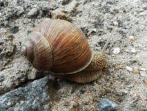 Улитка вползая на том основании Милое escargot Стоковые Изображения RF