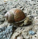 Улитка вползая на том основании Милое escargot Стоковое Фото