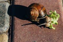 Улитка ест зеленый салат на красной плитке Стоковое Фото
