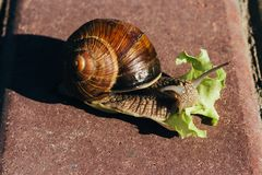 Улитка ест зеленый салат на красной плитке Стоковые Изображения