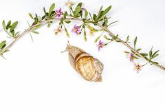 Улитка и goji цветут на белом взгляд сверху предпосылки стоковое фото rf