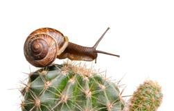 улитка кактуса стоковая фотография rf