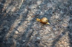 Улитка конца-вверх вползая на камне стоковое фото