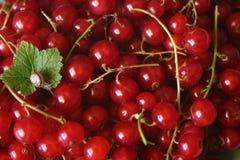 улитка красного цвета смородин Стоковая Фотография