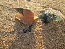 Улитка моря атакуя медузу Bluebottle Стоковые Изображения