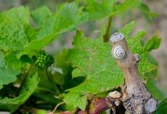 Улитка на виноградной лозе стоковые изображения rf