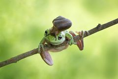 Улитка на головной dumpy лягушке, лягушке на ветви Стоковая Фотография