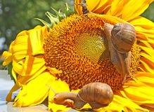 Улитка 2 на конце головы солнцецвета вверх стоковое фото