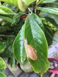 Улитка на листьях стоковое изображение rf