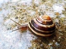 Garden snail on wet road Стоковая Фотография