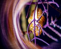 Улитка языка фламинго в пурпурном коралле стоковое фото