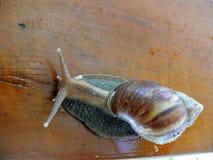 улитка escargot Стоковые Изображения