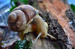 Улитка gastropod стоковые изображения