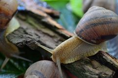Улитка gastropod стоковое изображение rf