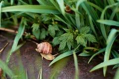 Улитки во дворе после дождя на зеленой траве с большими падениями росы стоковые фотографии rf