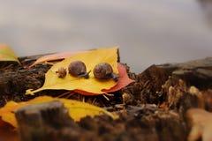 3 улитки вползают один за другим вдоль упаденных желтых лист на береге озера, осени Стоковая Фотография RF