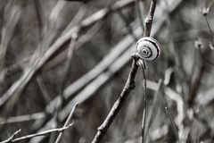 Улитки в спиральных раковинах сидят на сухом стержне Стоковая Фотография RF