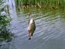 Уловил весну рыбной ловли crucian карпа Стоковые Фотографии RF