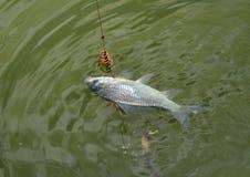 Уловил весну рыбной ловли crucian карпа Стоковые Изображения
