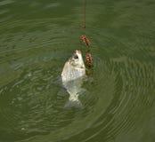 Уловил весну рыбной ловли crucian карпа Стоковое фото RF