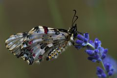 Уловленная бабочка стоковое изображение rf