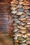 Уловленные рыбы карпа на древесине Заразительная пресноводная рыба на деревянной предпосылке Много рыбы леща, crucian или плотва  Стоковое Фото