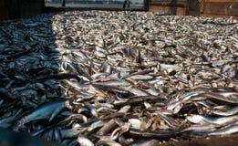 Уловленные рыбы на борту стоковая фотография