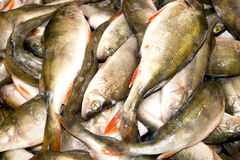 уловленные рыбы Стоковое Изображение