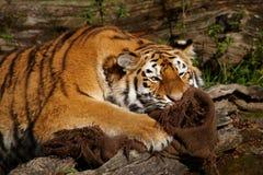 уловленный тигр Стоковая Фотография RF