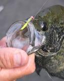 уловленный micro джига crappie Стоковое Изображение