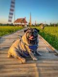 Улыбка собаки мопса стоковые изображения rf