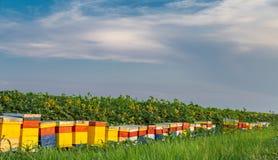 Ульи на поле 2 солнцецветов Стоковая Фотография