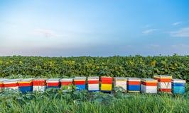 Ульи на поле 4 солнцецветов Стоковые Фото